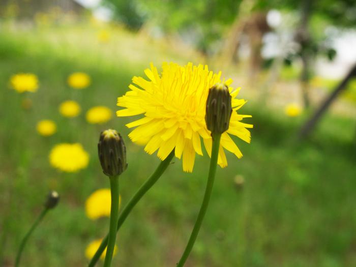 豚菜の花の写真